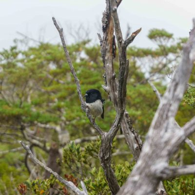A little Tomtit – Tongariro National Park